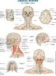 Cranial Nerves Wallchart