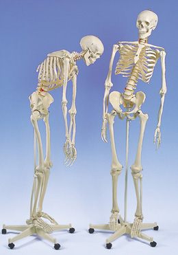 Flexible Human Skeleton
